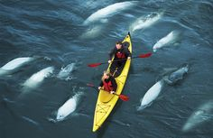 Each year at the end of July in Hudsons Bay 3000 Beluga whales take a summer vacation in Churchill, Manitoba Canada. Kayak Camping, Canoe And Kayak, Kayak Fishing, Kayaks, Wale, Canada, Churchill, Marine Life, Travel