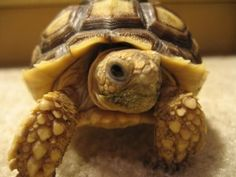 this is sulcata...a smaller tortoise will do...although a sulcata with the right habitat would be okay...love <3