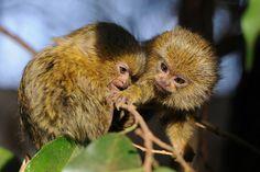 cebuella pygmaea | Flickr - Photo Sharing!