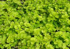 Creeping Jenny.  Loves it here in Minnesota.  Will take root, grow and spread quickly, even on hills.  Color is a distinctive yellow-green.