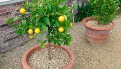 El limón crece en todas las épocas del año y también es posible hacer que crezca en nuestro jardín. Claro está que necesitamos que el clima del lugar sea cálido y soleado la mayor parte del tiempo, ya que es necesario para el crecimiento de esta. Lo mejor de todo es que obtendremos el fruto …