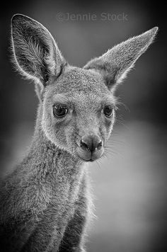 ~~Joey ~ baby Kangaroo by Jennie Stock~~