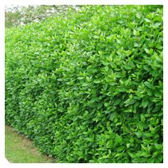 Viburnum tinus hedge