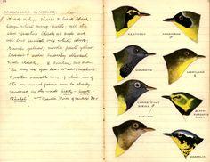 Description and illustrations of Warbler species, Field Journals, 1906: Timothy Otis Fuller.