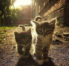 Fluffy kittens in a streak of sunlight https://www.meowmoe.com/26783/                                                                                                                                                                                 More