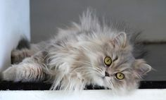 Persian cats are sweet and affectionate but require regular grooming. By: Magnus Bråth/Flickr