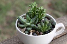 Succulents in a mug.
