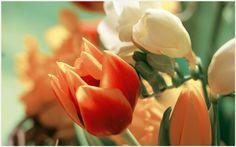 Orange White Tulip Flowers Wallpaper | orange white tulip flowers wallpaper 1080p, orange white tulip flowers wallpaper desktop, orange white tulip flowers wallpaper hd, orange white tulip flowers wallpaper iphone
