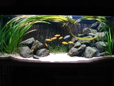 African Cichlid Tank | Source: http://www.cichlid-forum.com/phpBB/viewtopic.php?t=234668