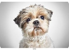 Dot, a Shih Tzu for adoption at Humane Society of New York.