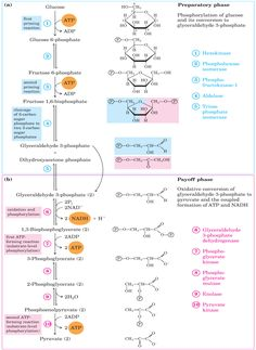 Oh, the Krebs Cycle. Studied for weeks, forgotten immediately after the exam.