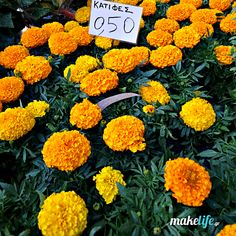 My favorite fragrant flower // Minnesota Landscape Arboretum Minnesota Landscaping, Landscaping Tips, Gelato Shop, Hardy Plants, Public Garden, Companion Planting, Marigold, Botanical Gardens, Greenery