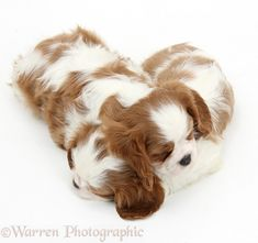 Dogs: Sleepy Blenheim Cavalier King Charles Spaniel pups photo warrenphotographic.co.uk This is why I love Cavaliers! Look at the beautiful smooth coat! So beautiful! They're just wonderful dogs, so sweet and calm and loving!