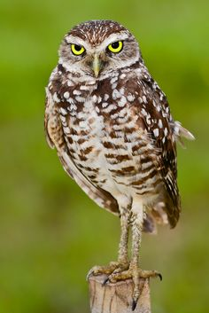 Burrowing Owl | Momma is guarding the nest.