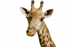 13920385-a-portrait-of-a-giraffe-isolated-over-white-background.jpg (1200×801)