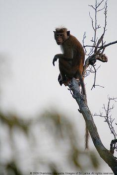 Monkey, Minneriya National Park, Sri Lanka (www.secretlanka.com)