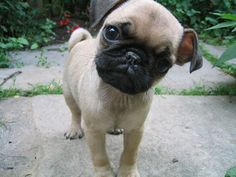 I want another pug baby!