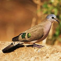 Birds of the World: Emerald-spotted wood dove
