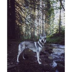 Some places you can't describe with words. They are beyond comprehension and you need to feel them with your heart wide open. www.travelwithmaya.com #travelwithmaya #hikingwithdogs #stayandwander #roamtheplanet #czechoslovakianwolfdog #lifeofadventure #adventurethatislife #camping #campingwithdogs #hiking #czechoslovakianwolfdog #lifeofadventure #adventurethatislife #wolfodg #dog #wolf #vlcak #dogportrait #wolfmate