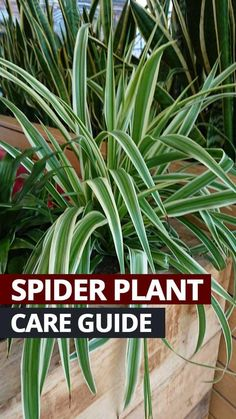 Spider Plant or Chlorophytum is a houseplant that is very easy to look after. Our simple care tips will teach you how to grow Spider Plants. Hanging Plants, Indoor Plants, Indoor Gardening, Gardening Tips, Organic Gardening, Indoor Trees, Texas Gardening, Outdoor Gardens, Chlorophytum