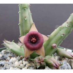 Pointed Star Lifesaver Plant (Huernia procumbens) flowers appear from the base