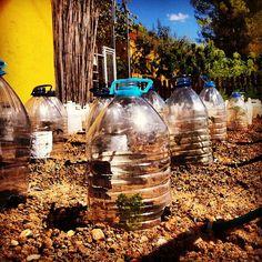 Plantació de garrafes #OlesadeBonesvalls #Penedes