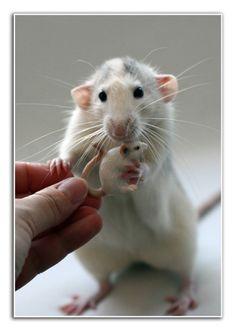 Ellen van Deelen's Beautiful Rats Photography