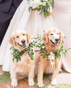 How to Include your Dogs in your Wedding Photos Sweet Pics) - Hey, Djangles. Dog wedding attire, dogs in wedding photos, Golden Retrievers, image source: Insta in weddings How to Include your Dogs in your Wedding Photos Sweet Pics) Dog Wedding Attire, Wedding Humor, Dogs At Wedding, Wedding Couples, Photos With Dog, Dog Pictures, Funny Wedding Photos, Wedding Pictures, Wedding Ideas