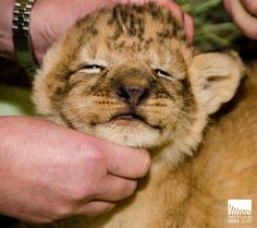 Oh hey, cutie! Our #baby #lions are healthy... and absolutely #adorable!