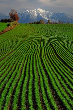 Hill of green wheat with a touch of October foliage; Biei, Kamikawa (Ishikari) District, Hokkaidō, Japan