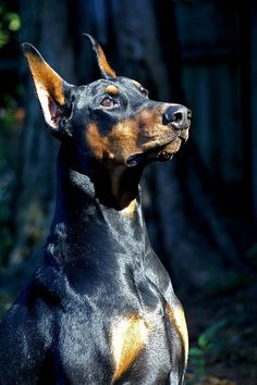 This Doberman is Lovely. Reminds me of my baby girl, I miss Zoe!