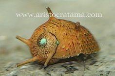 Assorted Horn Snail