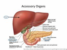 Accessory Organs Of The Digestive System Pancreas And Surrounding Organs Gallbladder Small Intestine And