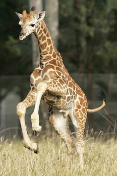 Hey Hey! Baby Giraffe! Where are you going? Come back here! ❤ …