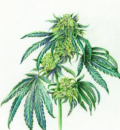 Original botanical illustration by Aiyana Udesen  This cannabis drawing was done from a life study, the Green Dragon strain 11x14 Colored pencil on white bristol board  Unframed, signed on the back