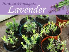 Grow dozens of new lavender plants from cuttings taken from a single shrub.