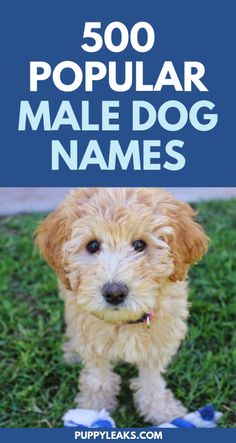 for the perfect name for your new puppy? Here's 500 popular male dog names.Looking for the perfect name for your new puppy? Here's 500 popular male dog names. Male Dog Names List, Popular Male Dog Names, Male Dog Names Unique, Great Dane Names Male, Male Pet Names, Cute Puppy Names, Cute Names For Dogs, Best Dog Names Boys, Small Dog Names