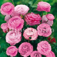 Ranunculus asiaticus Pink - 20 flower bulbsGiant Ranunculus are vibrantly coloured pink flowers, from the marsh marigold family producingbright, . Ranunculus Flowers, Flora Flowers, Bulb Flowers, Fresh Flowers, Pink Flowers, Beautiful Flowers, Pink Peonies, Flower Garlands, Flower Decorations