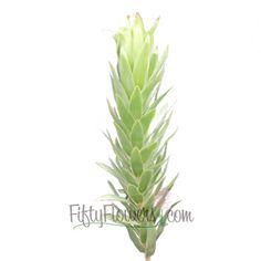 FiftyFlowers.com - Silver Tree Leucadendron