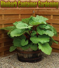 Rhubarb Container Gardening