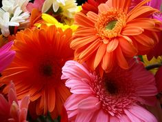Image detail for -Bright Flowers Gerbera Daisy Beautiful Flowers Hd Wallpapers, Flower Images Wallpapers, Beautiful Flowers Images, Flower Background Wallpaper, Flower Backgrounds, Amazing Flowers, Desktop Wallpapers, Beautiful Things, Beautiful Wallpaper