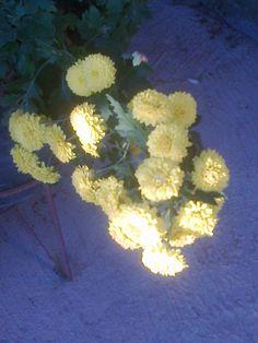 Crisantemo miniaura