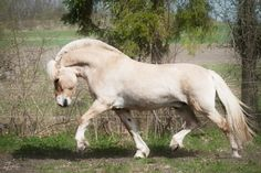 Norwegian fordskaya horse