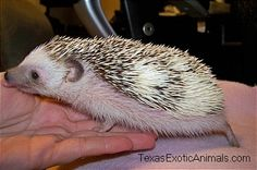 Petunia, one of our female Hedgehogs