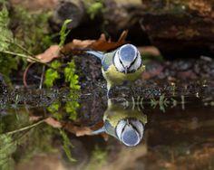 """""""Deze pimpelmees kwam regelmatig even drinken. Hier keek hij heel verbaasd naar zijn eigen spiegeling in het water"""", zo schrijft fotograaf RicardoAtsma bij deze foto. Vroege Vogels."""