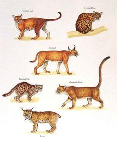 Golden Cat, Leopard Cat, Caracal, Mountain Lion, Lynx, Pampas Cat.........clockwise from upper left corner.....via My Sunshine Vintage on ETSY