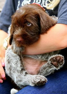 Charlie The Wirehaired Pointing Griffon