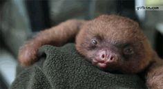 Cute baby sloth yawns