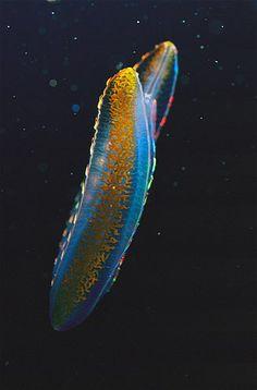 Image: A bioluminescent comb jelly (© Jason Edwards/National Geographic) in the Melbourne Aquarium, Victoria, Australia