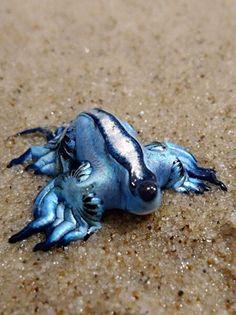 Голубой дракон. Один из самых красивых, но ядовитых морских жителей в мире.
